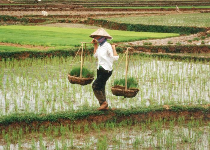 rice farm vietnam