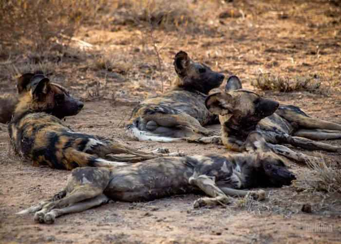 hyena's in african forest