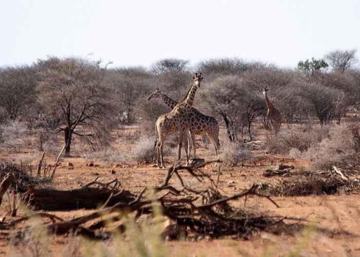 giraffe in african forest