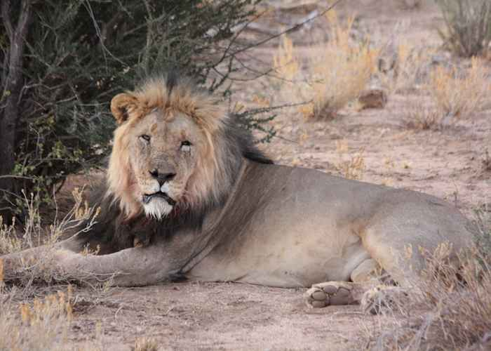 male lion in african forest