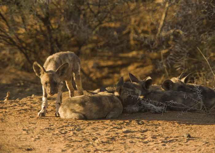 wild dogs in african forest