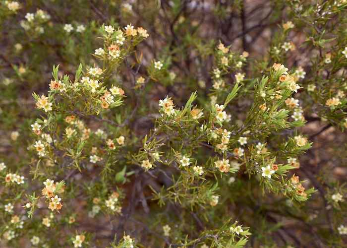 herbaceous flowering plants in South africa