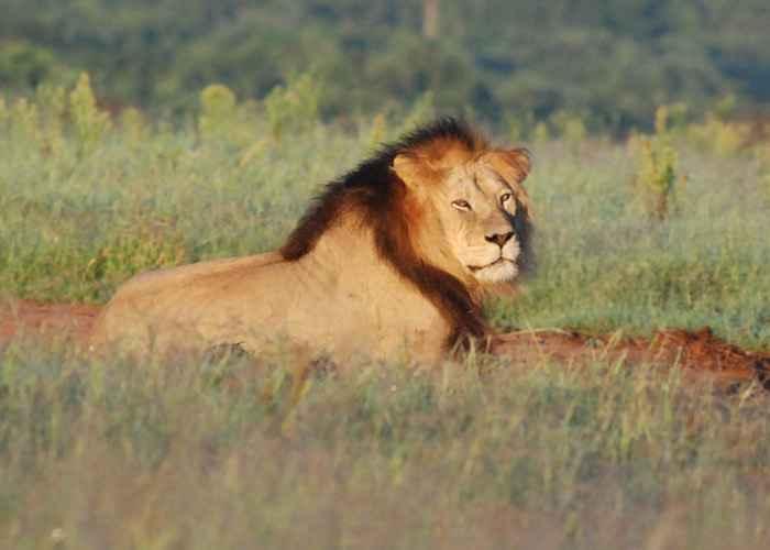 Male lion Addo