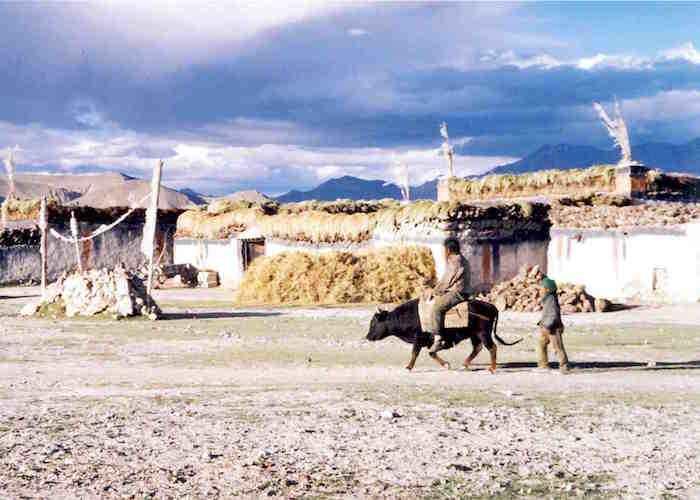 Riding a dzo. Tingri Tibet Autonomous Region
