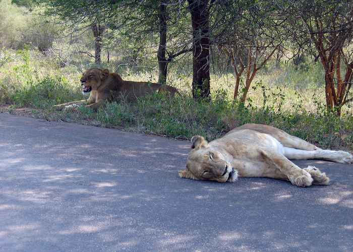 Two lions having a break after an unsuccessful hunt in Kruger National Park